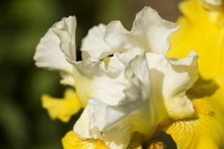 iris au printemps