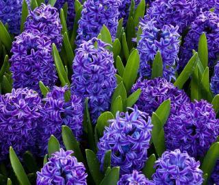 jacinthe qui fleurit au printemps hyacinthus