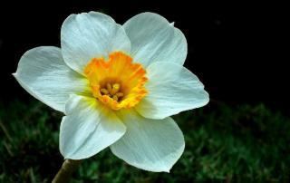 narcisse au printemps