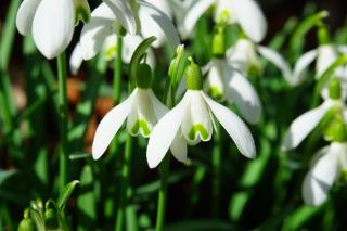 perce neige printemps