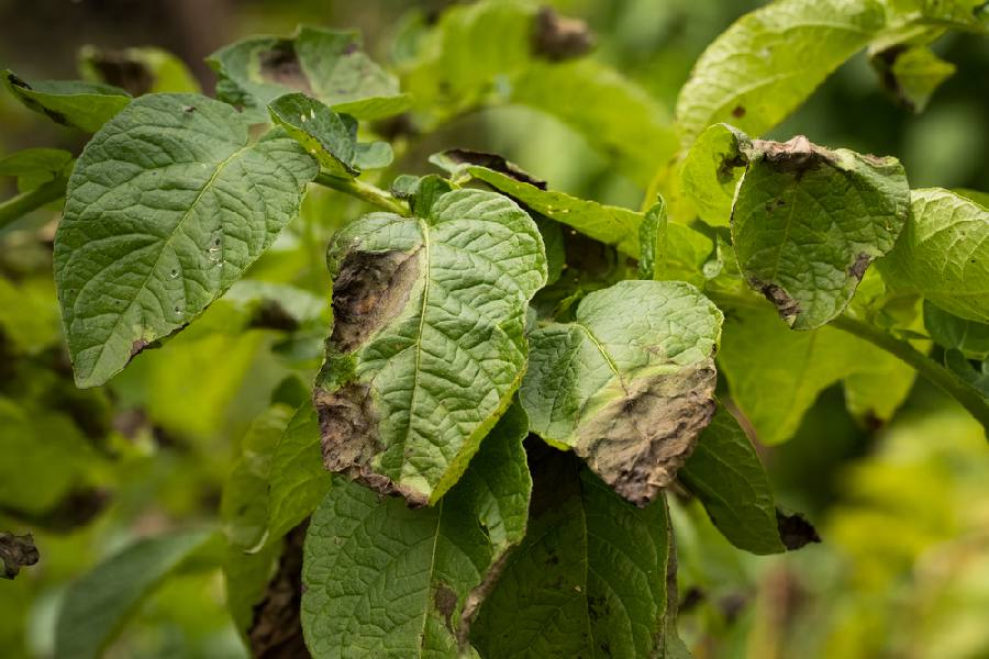 phytophthora