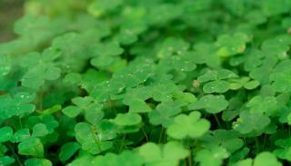 plante pour engrais vert