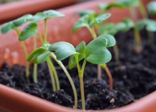 plantes touchees par fonte des semis
