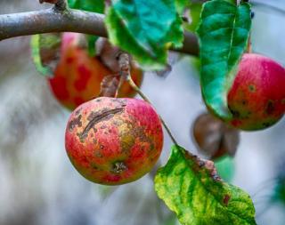 tavelure pomme