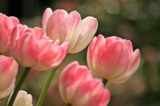 tulipe au printemps