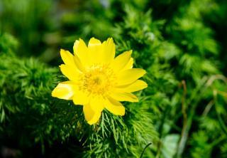 Adonis de printemps - Adonis Vernalis
