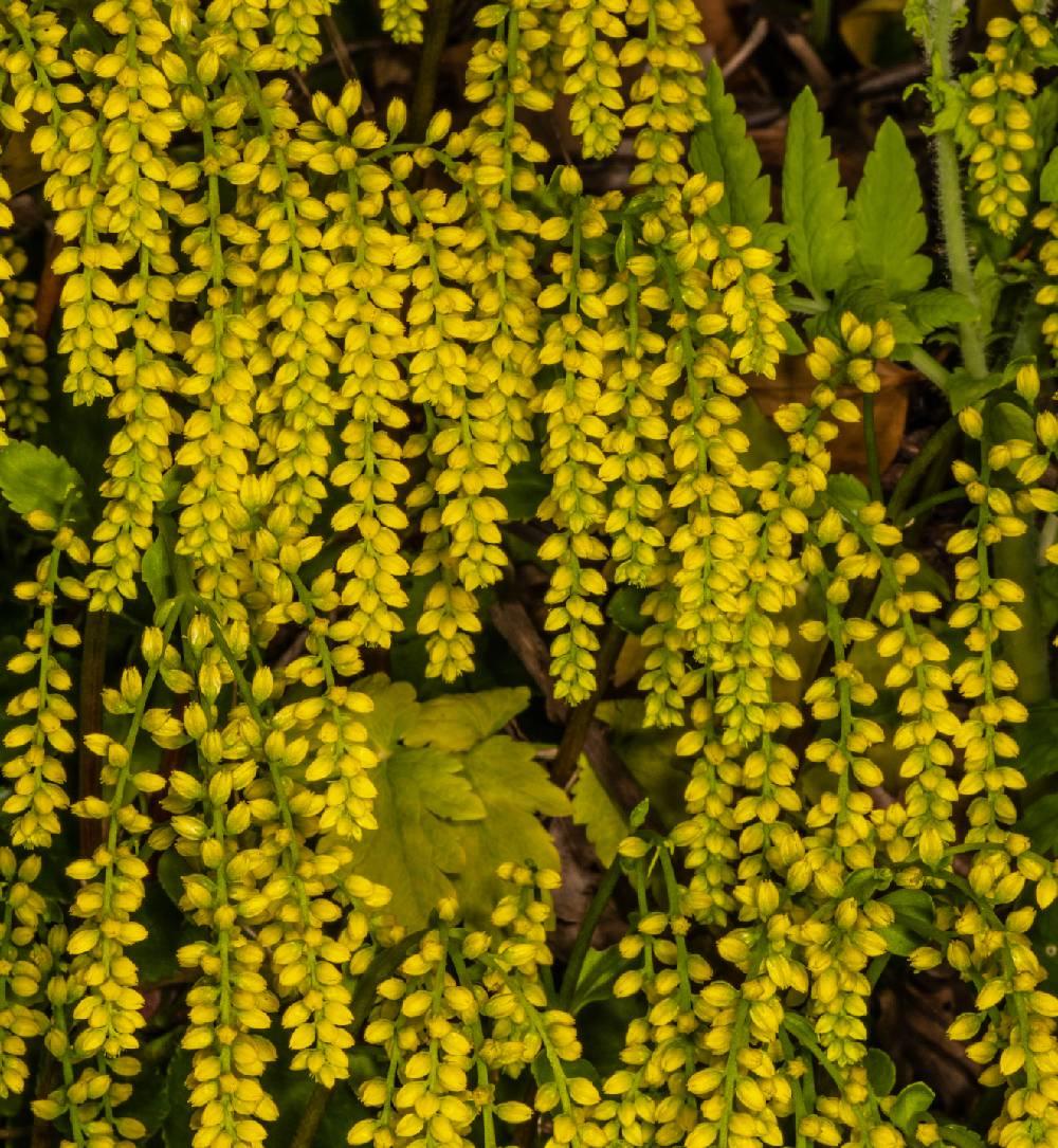 Chiastophyllum oppositifolium - goutte d or