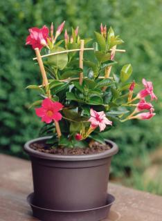 Dipladenia plante