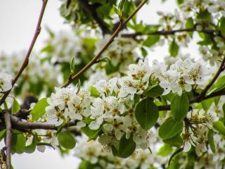 Malus sylvestris arbre