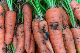 Mouche de la carotte
