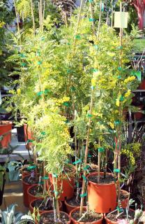 Plantation planter mimosa