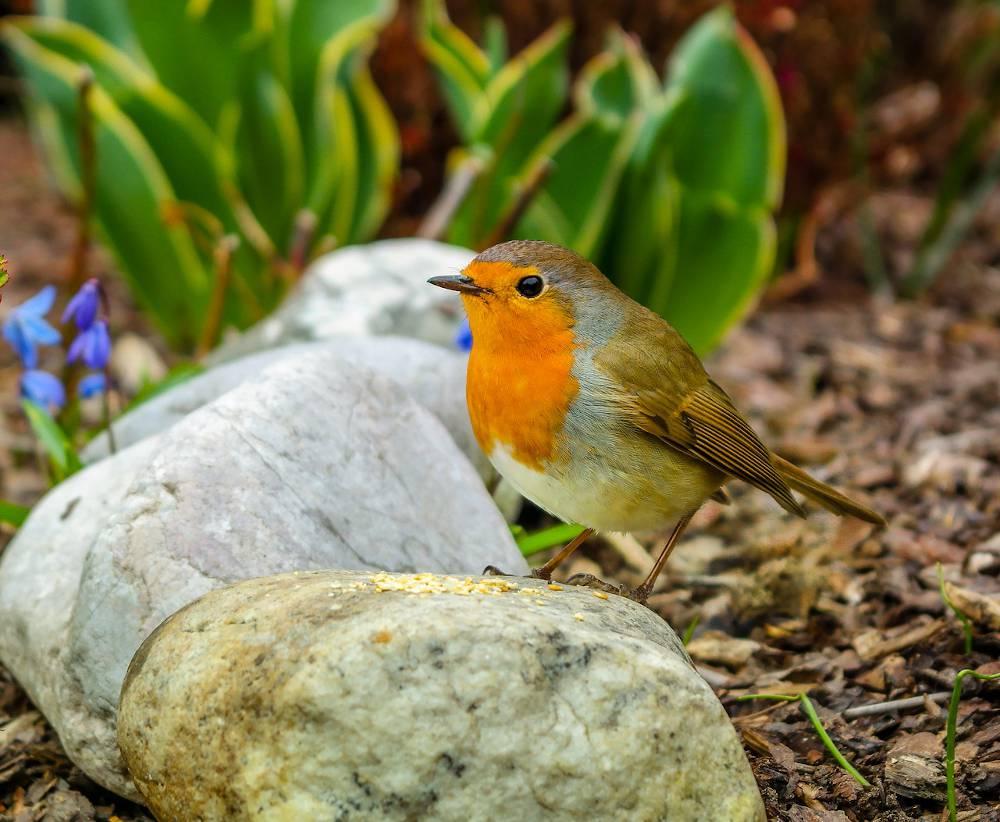 Reconnaitre oiseau jardin