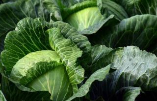 altise potager legume