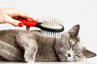 brosser un chat brossage