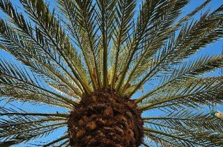 charancon palmier degats