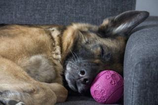 chien qui dort pendant absence maitre
