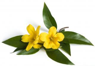 fleur et feuille de Gelsemium sempervirens - jasmin de Californie