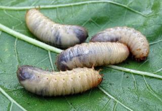 hanneton larve