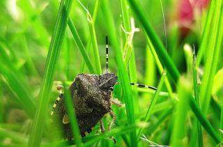punaise insecte
