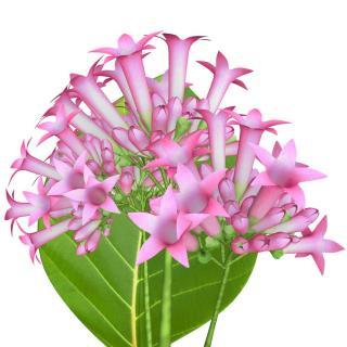 quinquina fleur