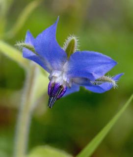 recolte feuille fleur bourrache