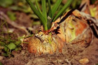 rotation culture lutte mouche carotte