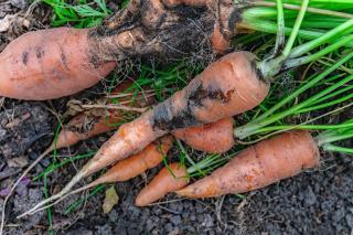 symptomes degat mouche carotte