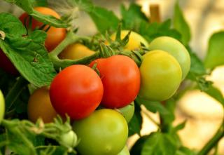 Comment Faire murir tomate verte