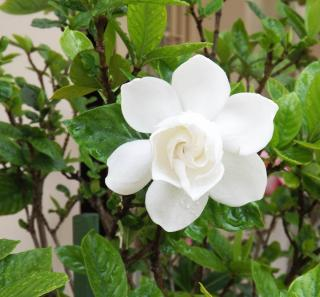 Gardenia en pot en interieur