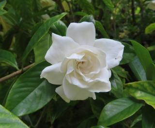Gardenia interieur plante