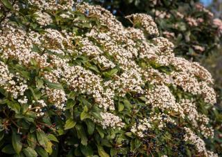Laurier tin - Viburnum tinus
