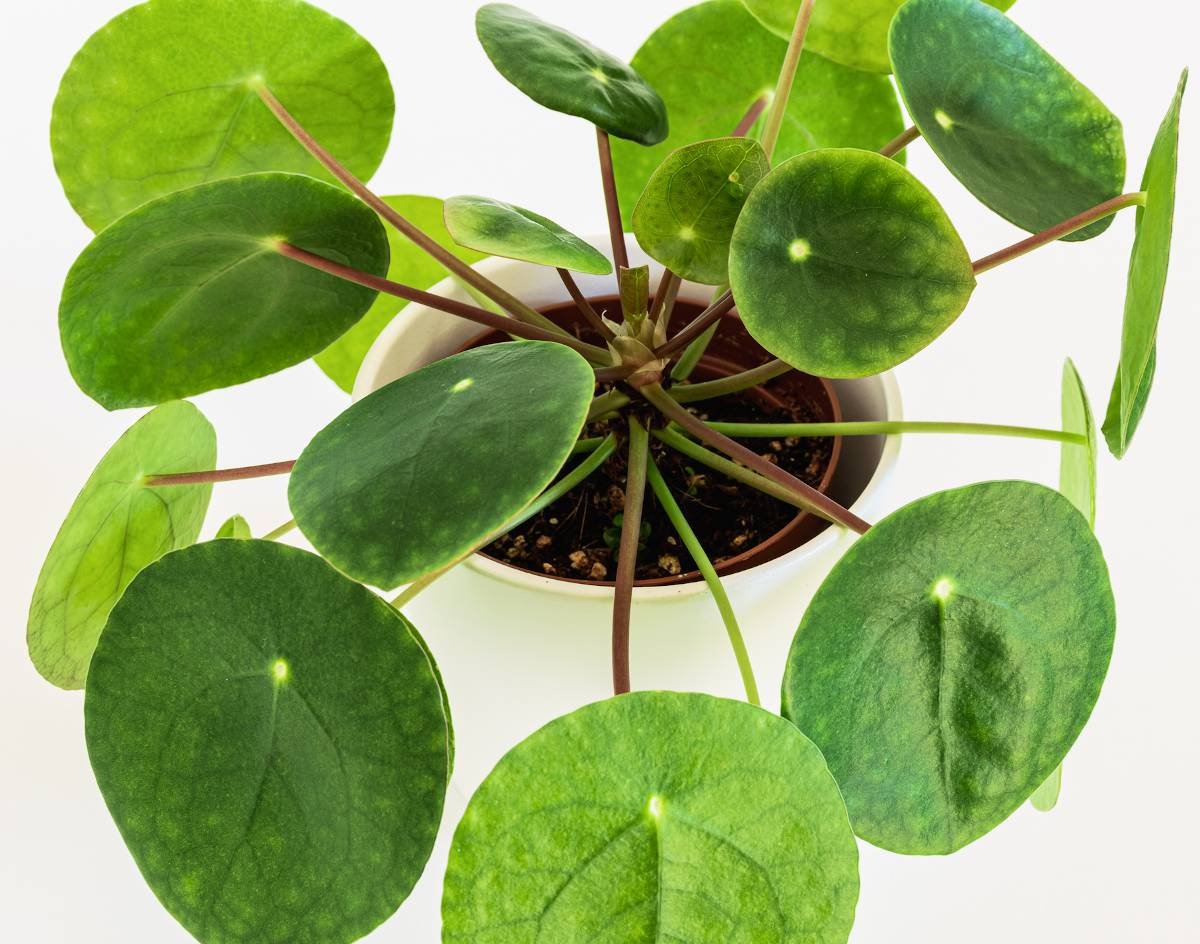 Pilea Peperomioides - plante a monnaie chinoise