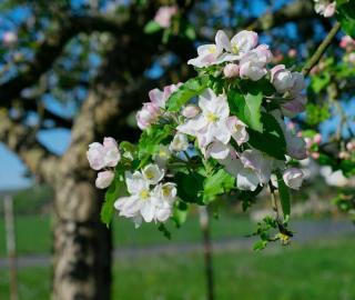 Plantation Pommier du Japon - Pommier japonais
