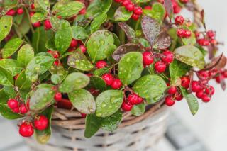Plante pour jardiniere balconniere hiver