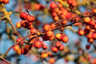 Pommier du Japon - Pommier japonais - fruit comestible