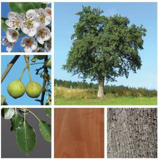 Pyrus pyraster - poirier sauvage - plantation culture entretien taille