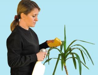 Yucca entretien arrosage nettoyage