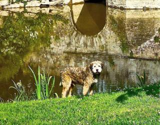 baignade chien cyanobacterie danger