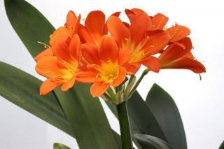 clivia plante fleur