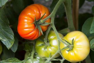 comment faire rougir tomate pas mures