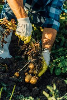 comment recolter pomme de terre