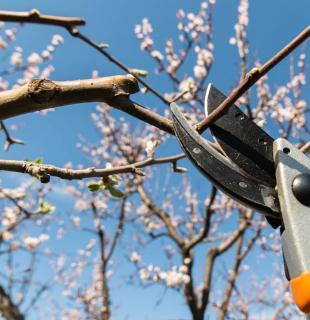 comment tailler un cerisier