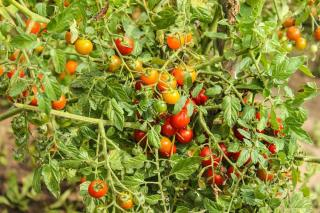cultiver tomate sans taille