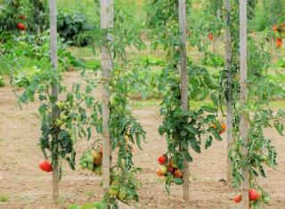 étêter tomate