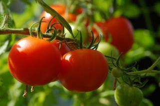 faut il tailler les tomates?