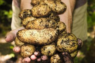 periode saison recolte pomme de terre