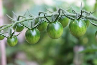 peut on manger tomate verte