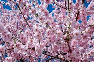 plantation cerisier du Japon