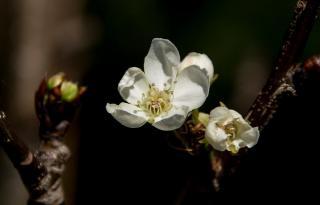 plantation poirier japonais nashi