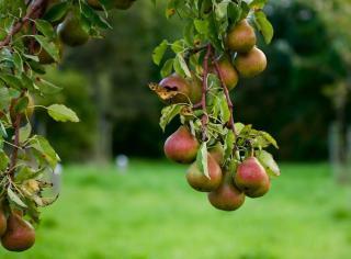 poirier commun recolte poire